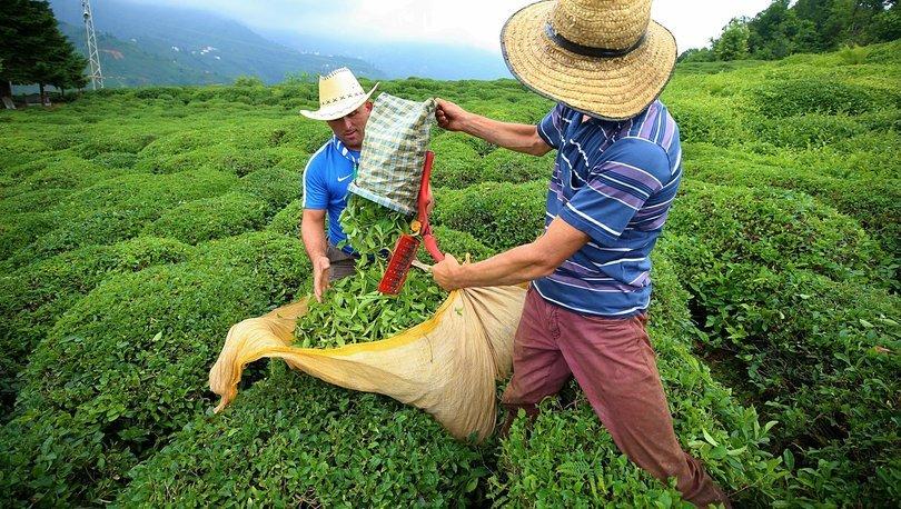 ÇAYKUR, Günlük Yaş Çay İşleme Kapasitesine Ulaştı